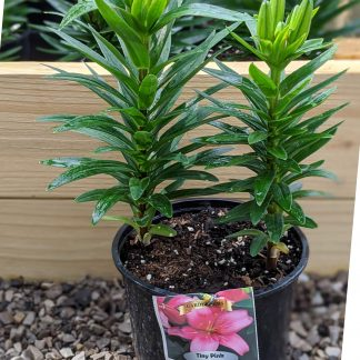 Asiatic Lily Tiny Pink