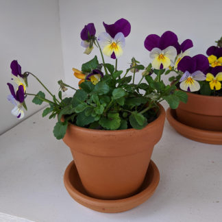 Small Pansy Pots- Assorted
