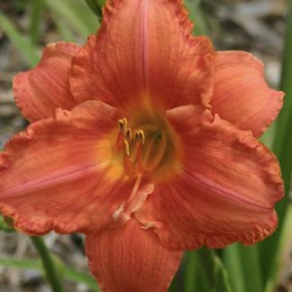 Daylily South Seas Coral