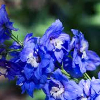Delphinium 'Summer Cloud'