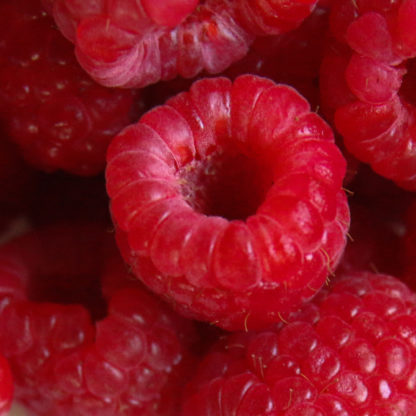 Latham Red Raspberry