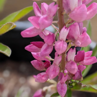 Lupine Gallery Pink