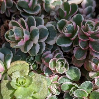 Sedum Tri Color