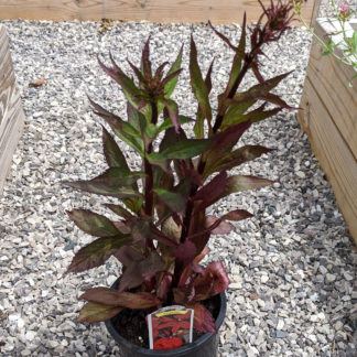 Lobelia Vulcan Red