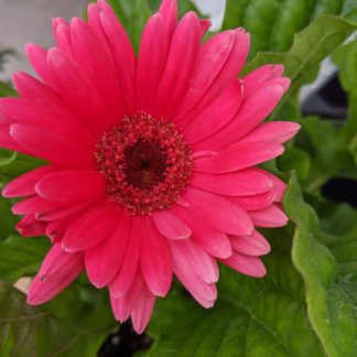 gerbera daisy close up