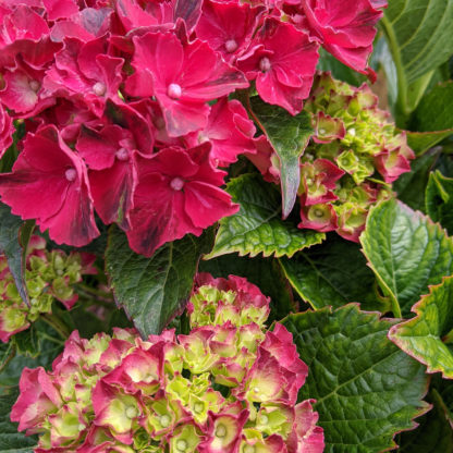 'Magical' Ruby Red Hydrangea