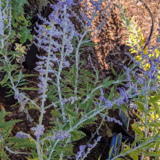 Russian Sage 'Blue Steel'