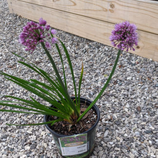 windy city allium