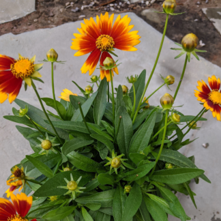 Coreopsis Gold & Bronze