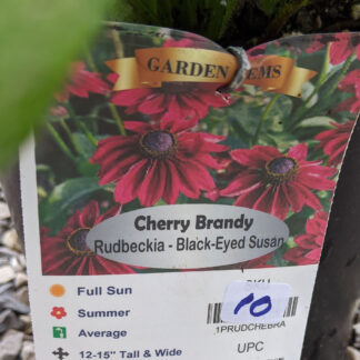 Black Eyed Susan 'Cherry Brandy'